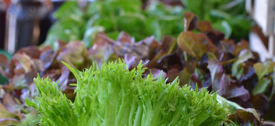 The Veggies - What We Grow - Lettuce